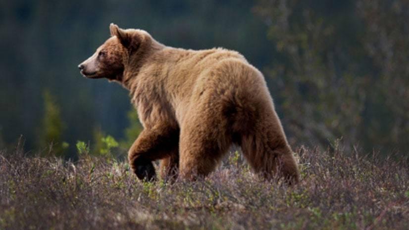 Ursos cinzentos