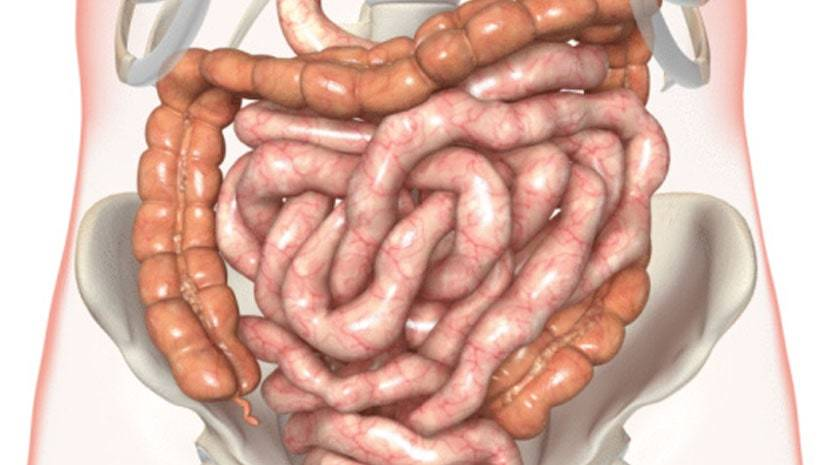 Os intestinos