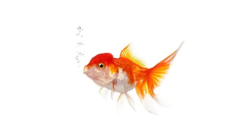 Como um peixe respira?