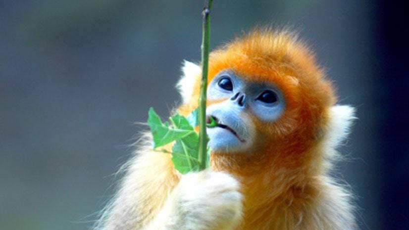 Macaco-de-nariz-arrebitado