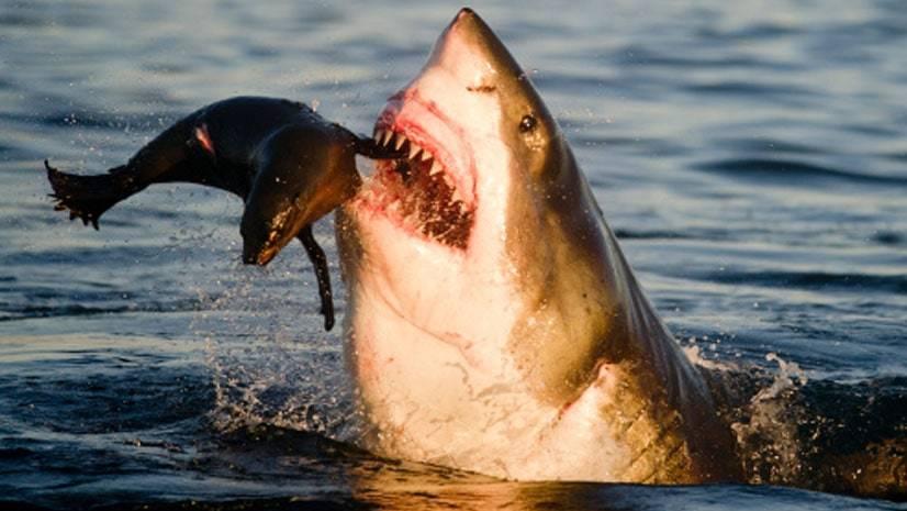 Tubarões e lobos-marinhos