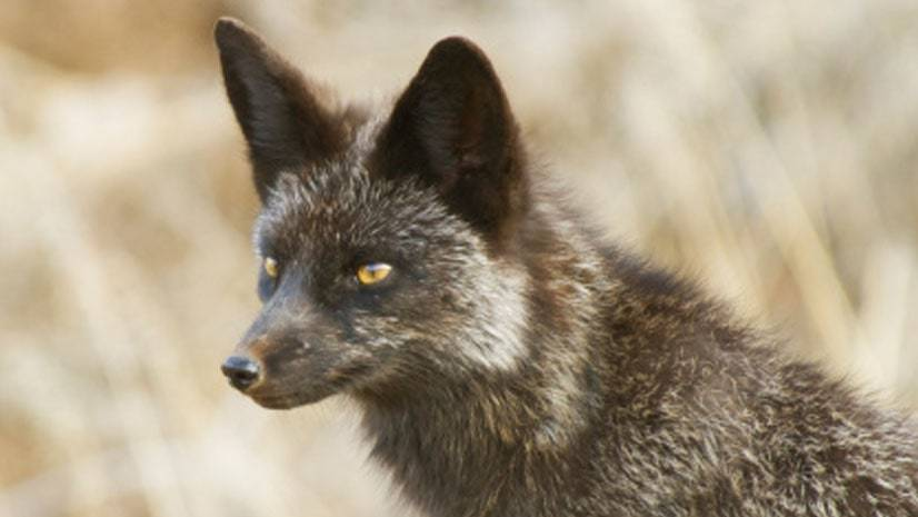 Criando raposas prateadas