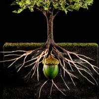 Oakling set Acorn to oak. Oak tree Grow a tree for 2021