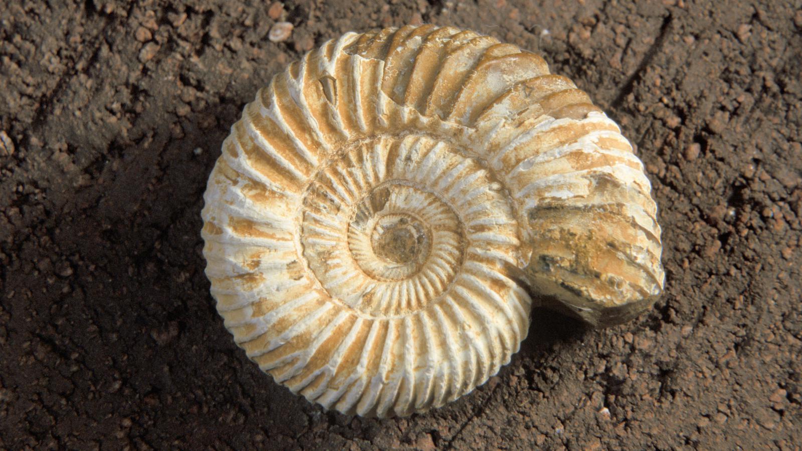 fossils tigtag